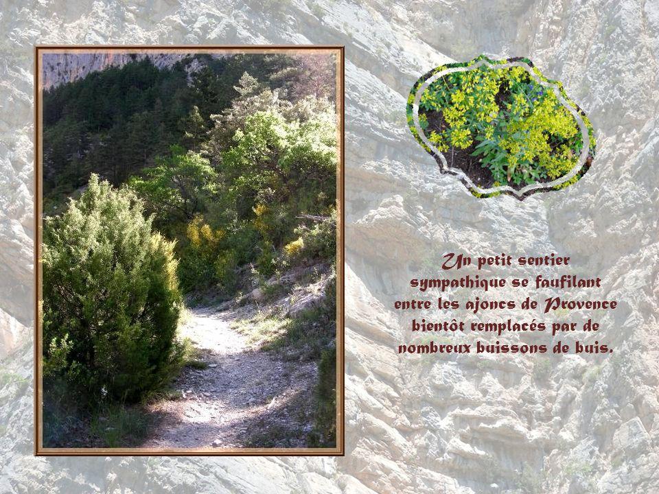 Un petit sentier sympathique se faufilant entre les ajoncs de Provence bientôt remplacés par de nombreux buissons de buis.