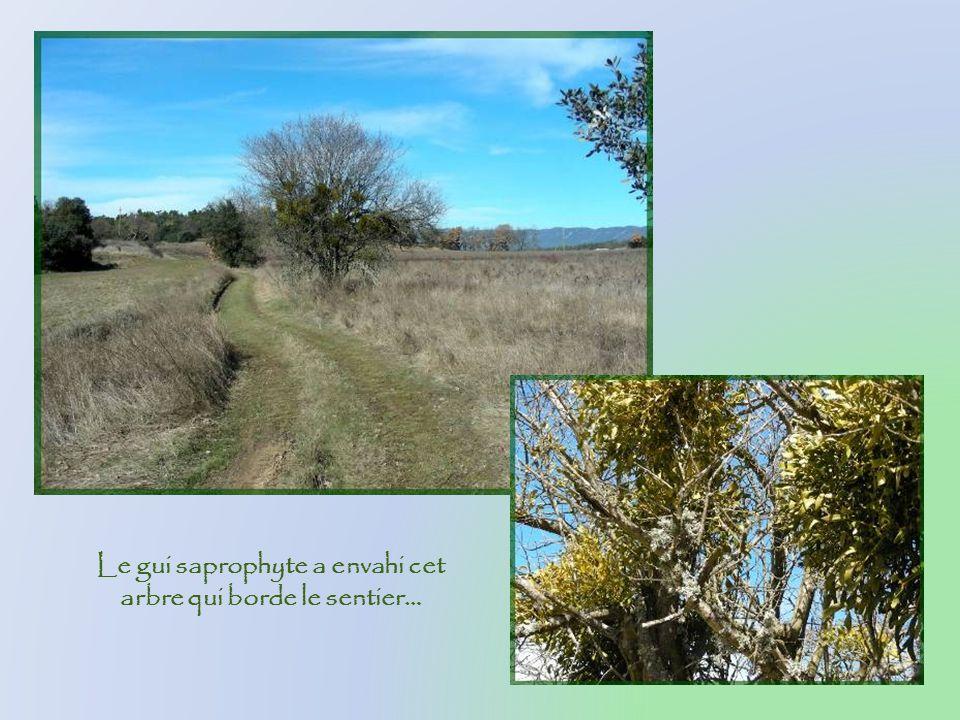 Le gui saprophyte a envahi cet arbre qui borde le sentier…