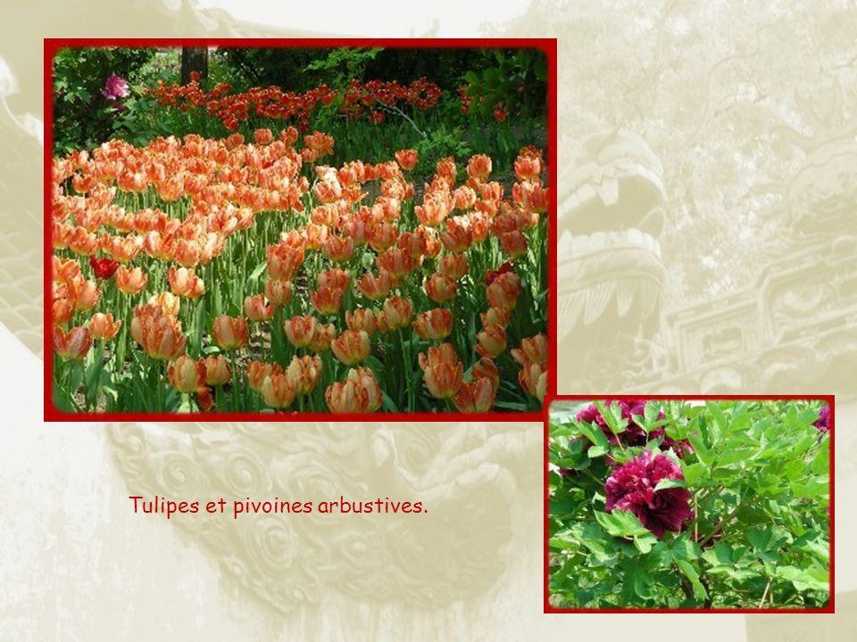 Tulipes et pivoines arbustives.