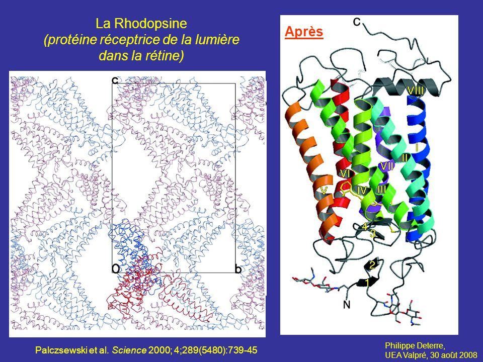 La Rhodopsine (protéine réceptrice de la lumière dans la rétine) Après
