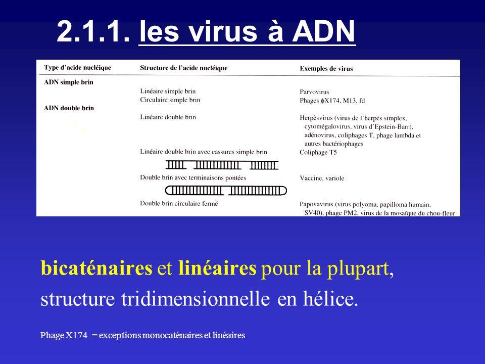 2.1.1. les virus à ADN bicaténaires et linéaires pour la plupart,