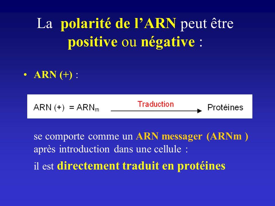 La polarité de l'ARN peut être positive ou négative :