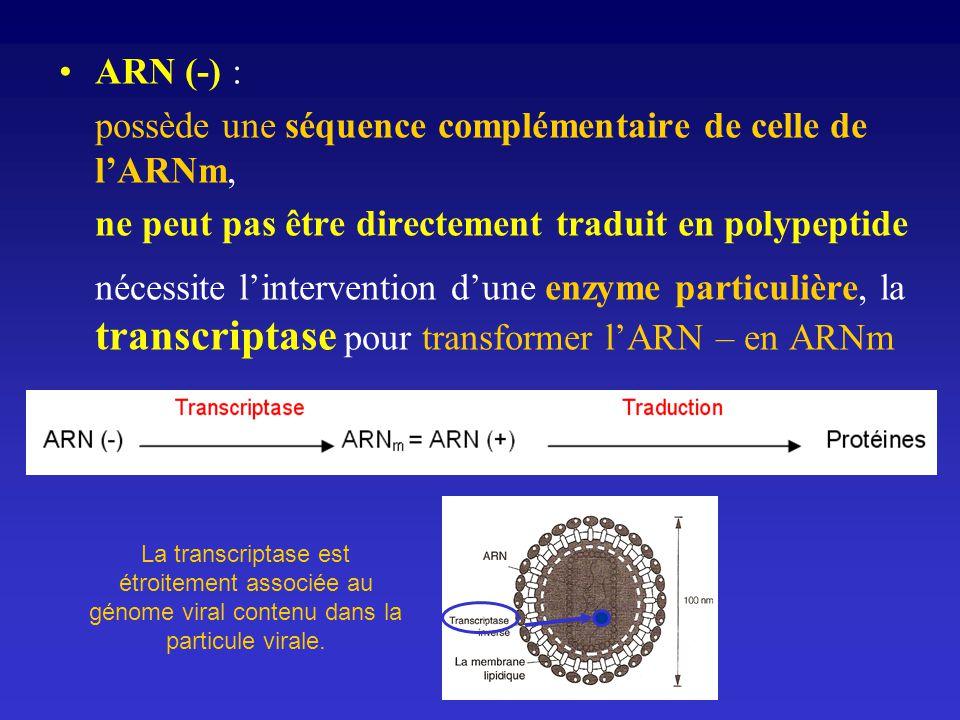 possède une séquence complémentaire de celle de l'ARNm,