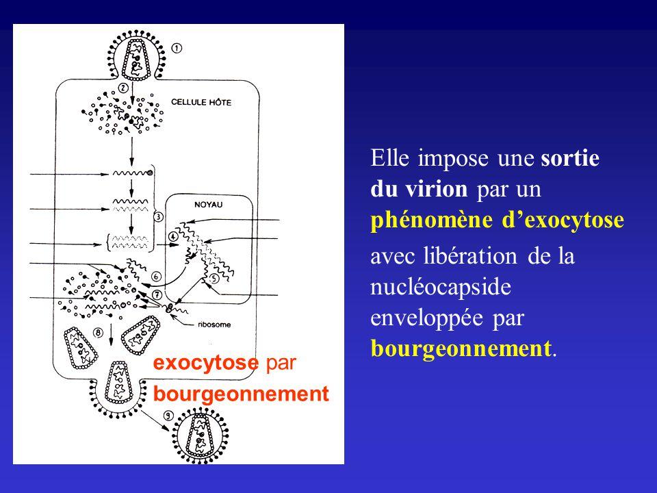 Elle impose une sortie du virion par un phénomène d'exocytose