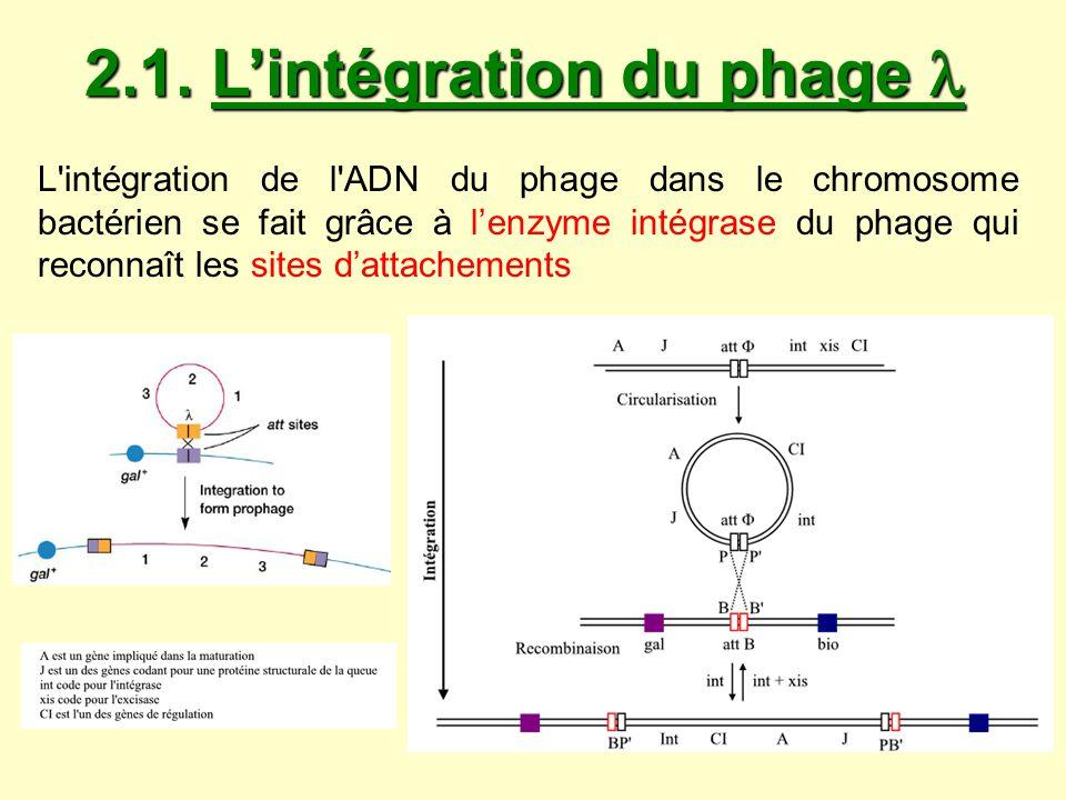 2.1. L'intégration du phage 