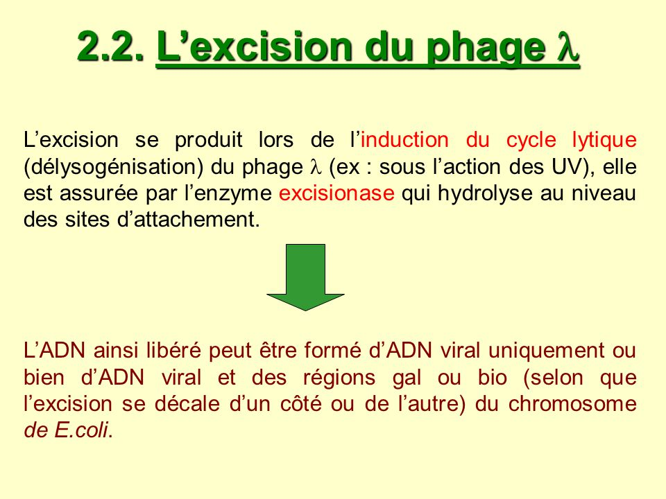 2.2. L'excision du phage 