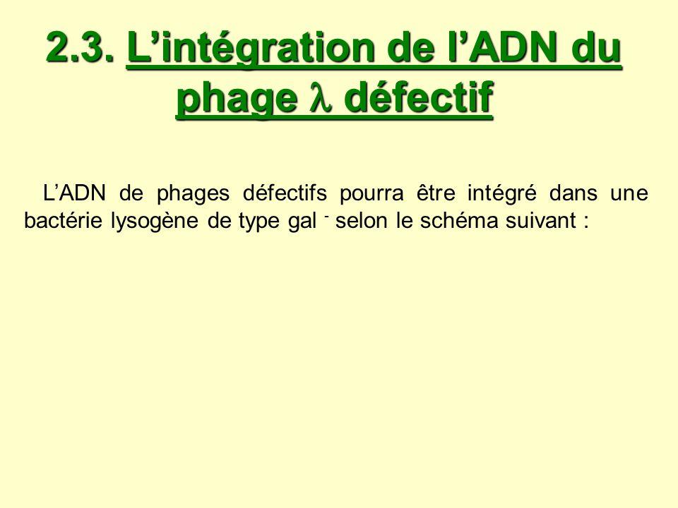 2.3. L'intégration de l'ADN du phage  défectif