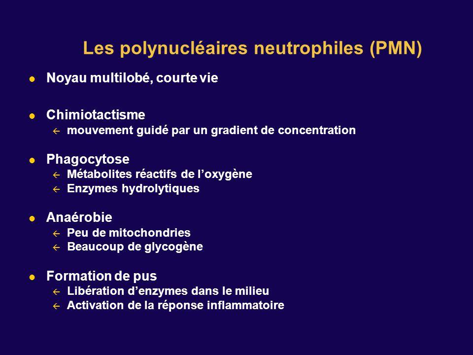 Les polynucléaires neutrophiles (PMN)