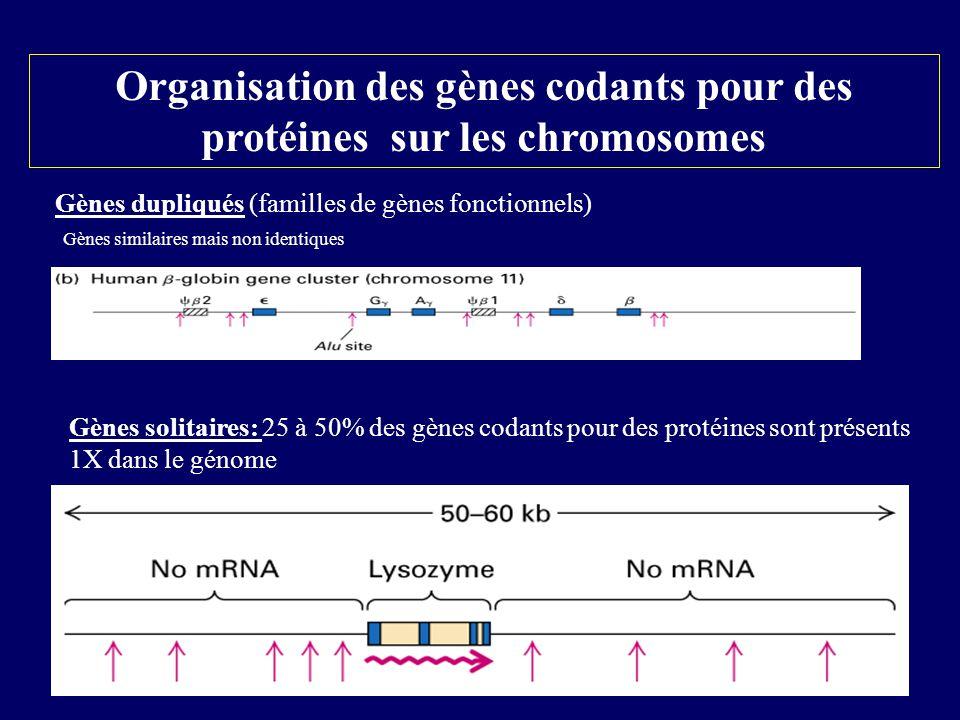 Organisation des gènes codants pour des protéines sur les chromosomes