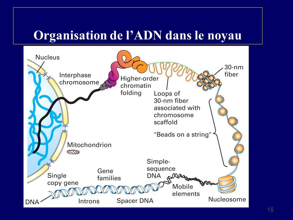 Organisation de l'ADN dans le noyau