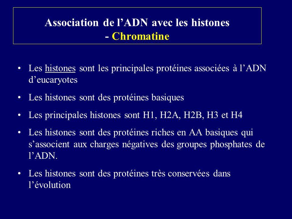 Association de l'ADN avec les histones - Chromatine
