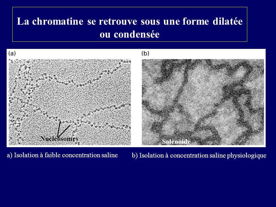 La chromatine se retrouve sous une forme dilatée ou condensée