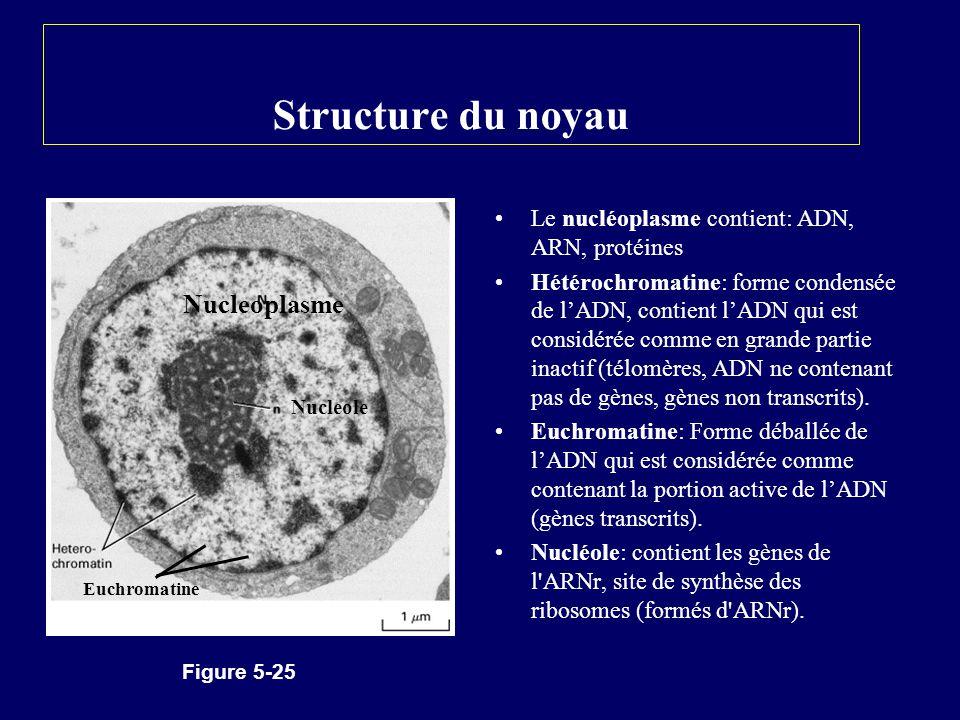 Structure du noyau Nucleoplasme