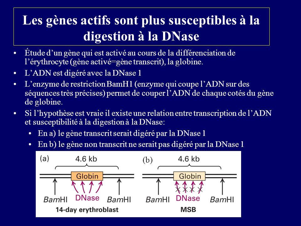 Les gènes actifs sont plus susceptibles à la digestion à la DNase