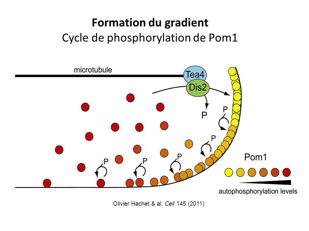 Formation du gradient Cycle de phosphorylation de Pom1