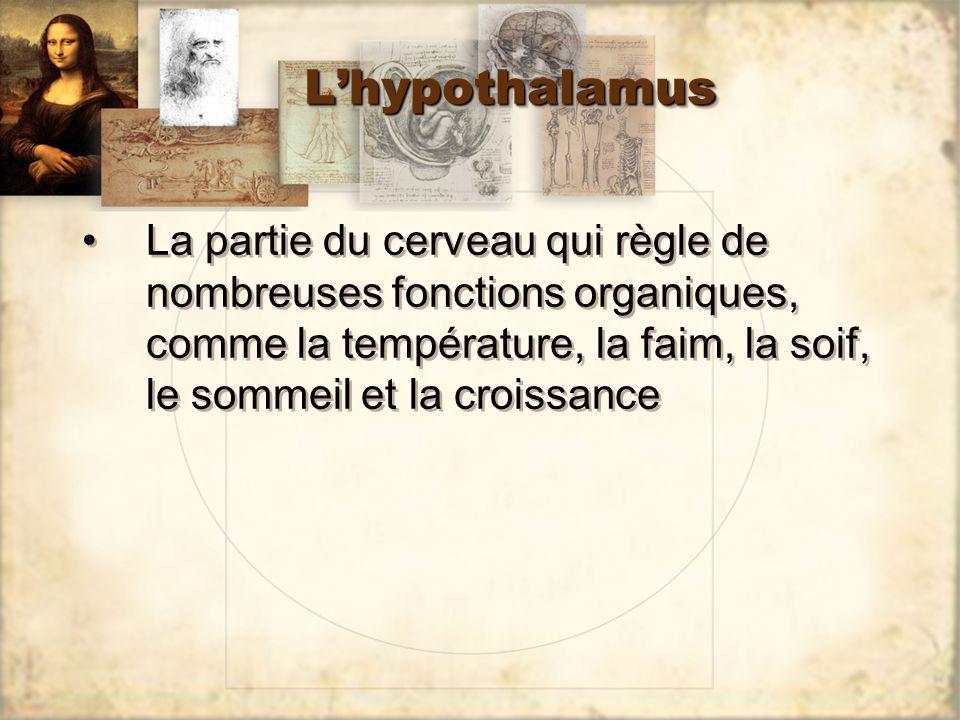 L'hypothalamus La partie du cerveau qui règle de nombreuses fonctions organiques, comme la température, la faim, la soif, le sommeil et la croissance.