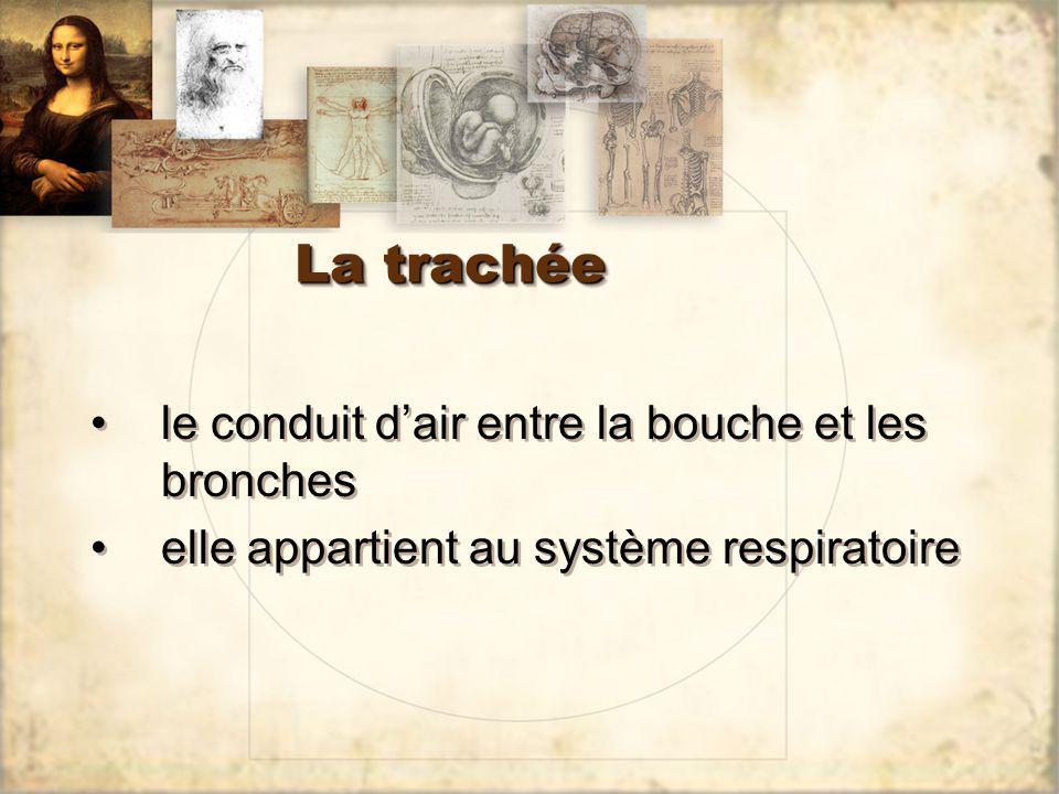 La trachée le conduit d'air entre la bouche et les bronches