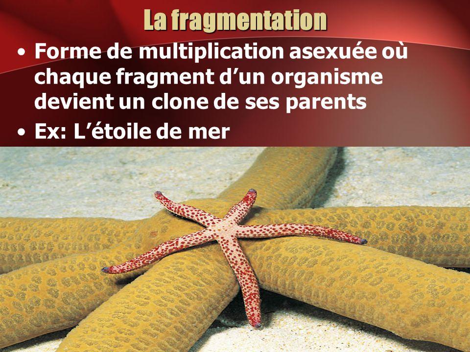 La fragmentation Forme de multiplication asexuée où chaque fragment d'un organisme devient un clone de ses parents.