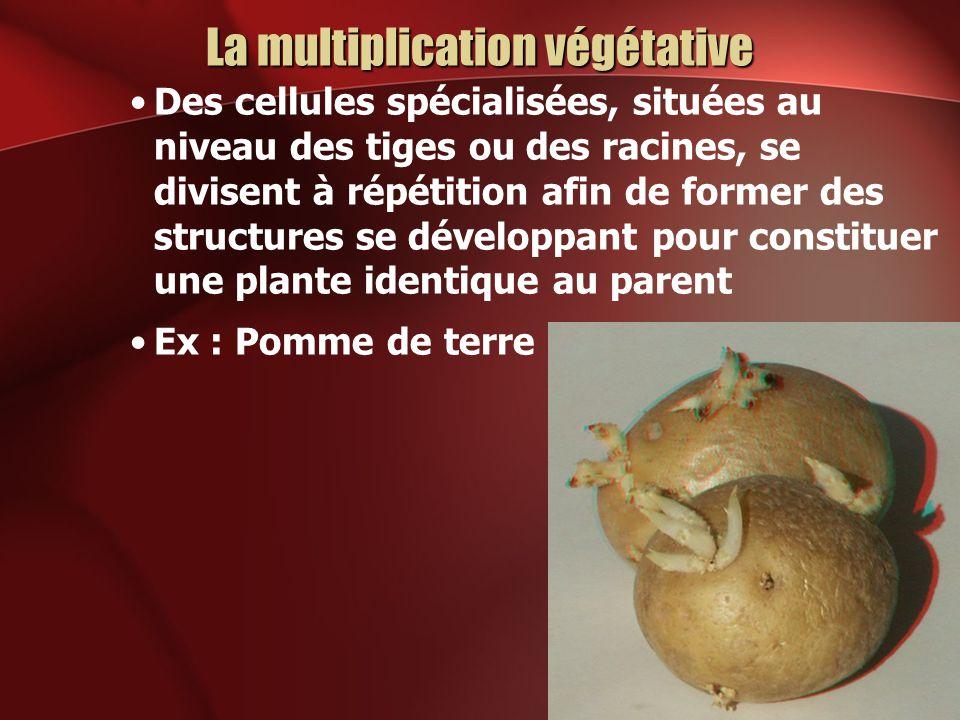 La multiplication végétative