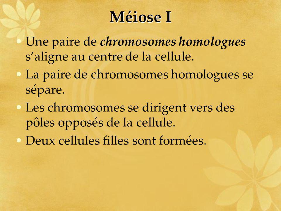 Méiose I Une paire de chromosomes homologues s'aligne au centre de la cellule. La paire de chromosomes homologues se sépare.