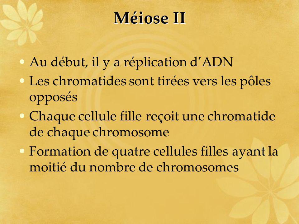 Méiose II Au début, il y a réplication d'ADN