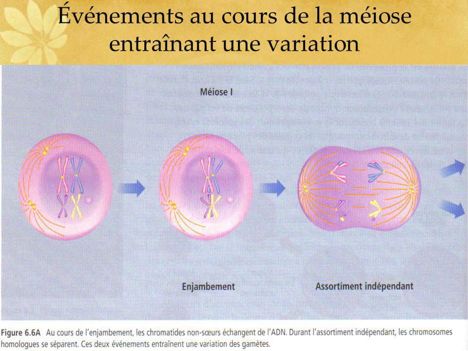 Événements au cours de la méiose entraînant une variation