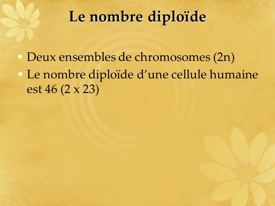 Le nombre diploïde Deux ensembles de chromosomes (2n)