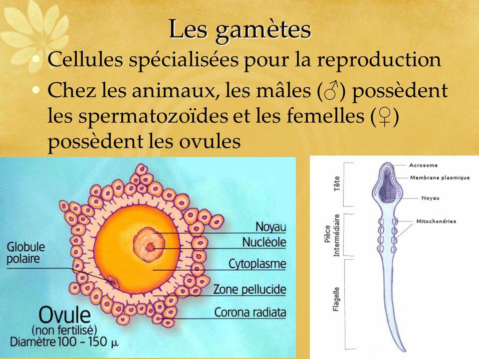 Les gamètes Cellules spécialisées pour la reproduction