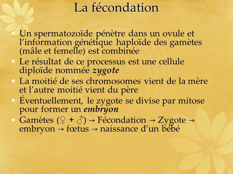 La fécondation Un spermatozoïde pénètre dans un ovule et l'information génétique haploïde des gamètes (mâle et femelle) est combinée.