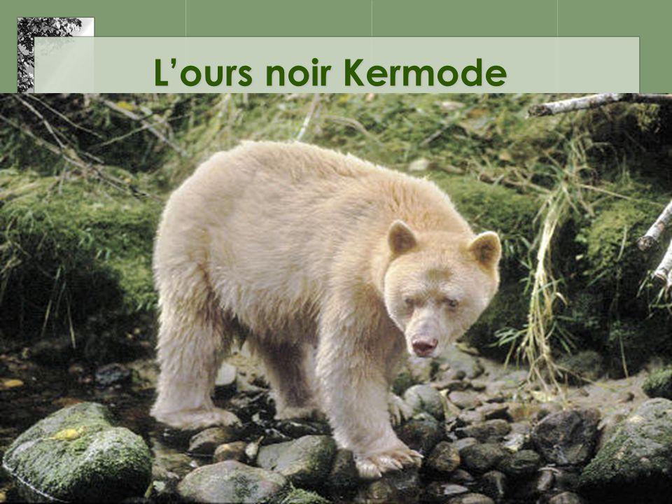 L'ours noir Kermode
