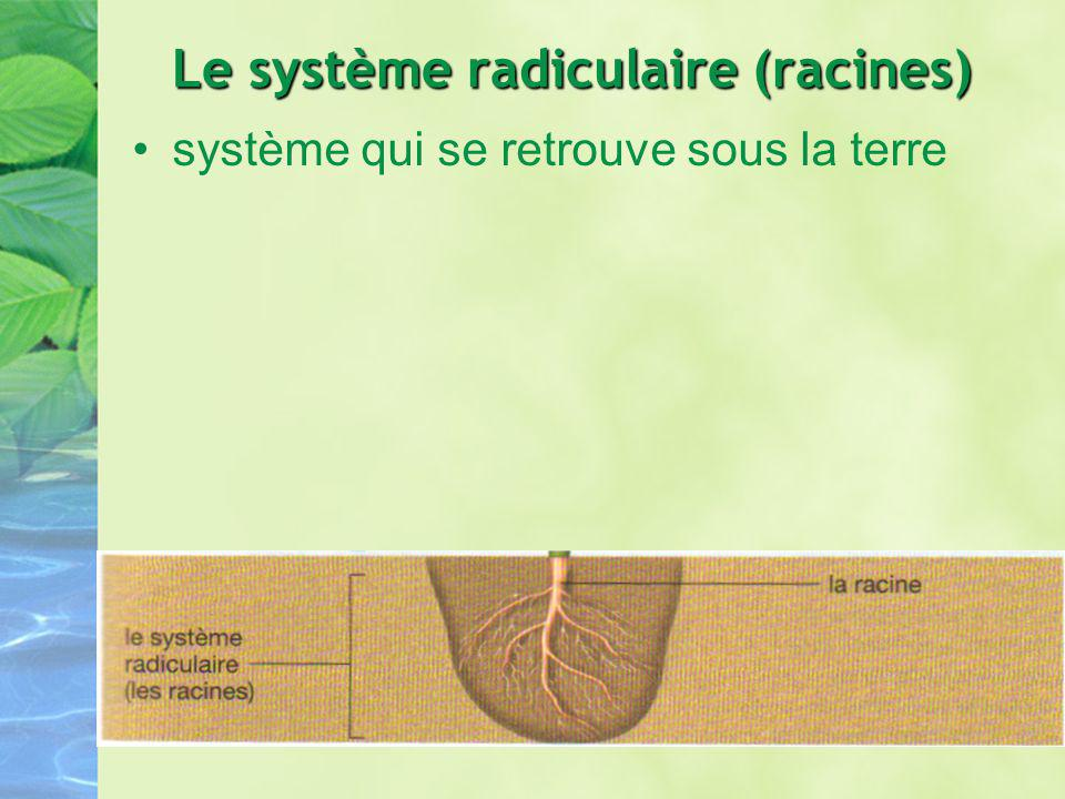 Le système radiculaire (racines)