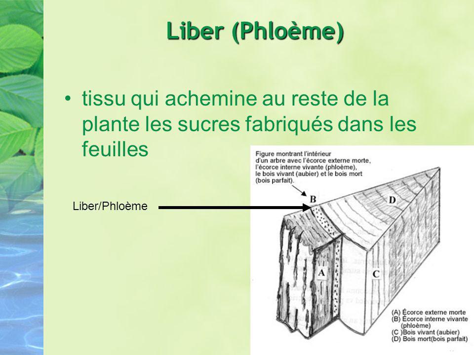 Liber (Phloème) tissu qui achemine au reste de la plante les sucres fabriqués dans les feuilles.