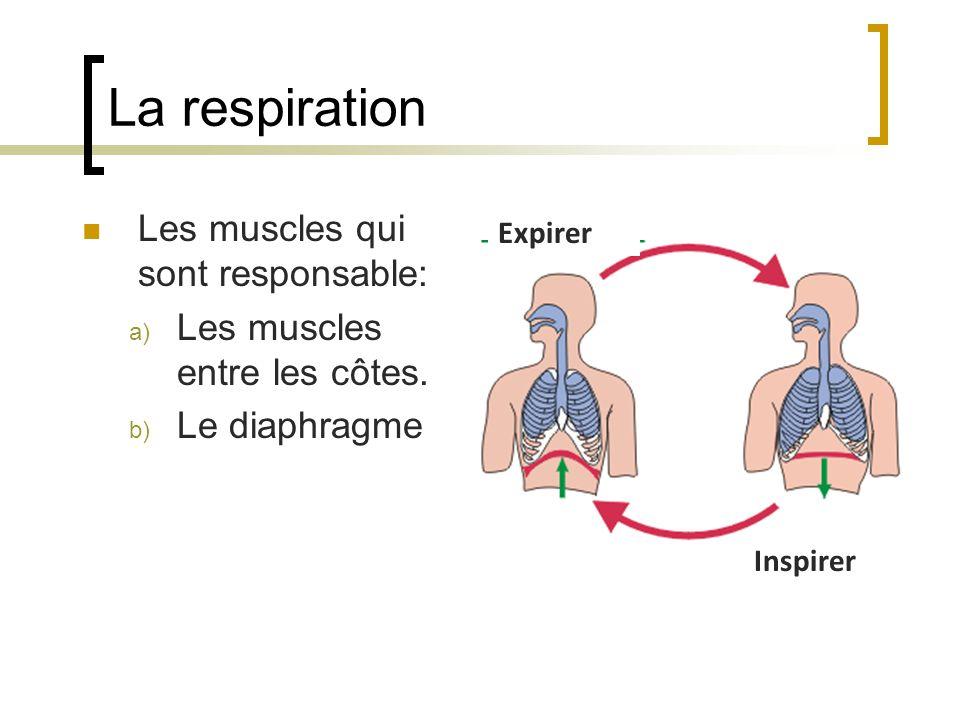 La respiration Les muscles qui sont responsable: