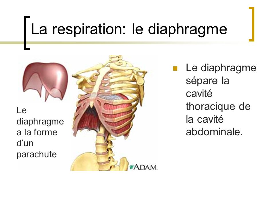 La respiration: le diaphragme