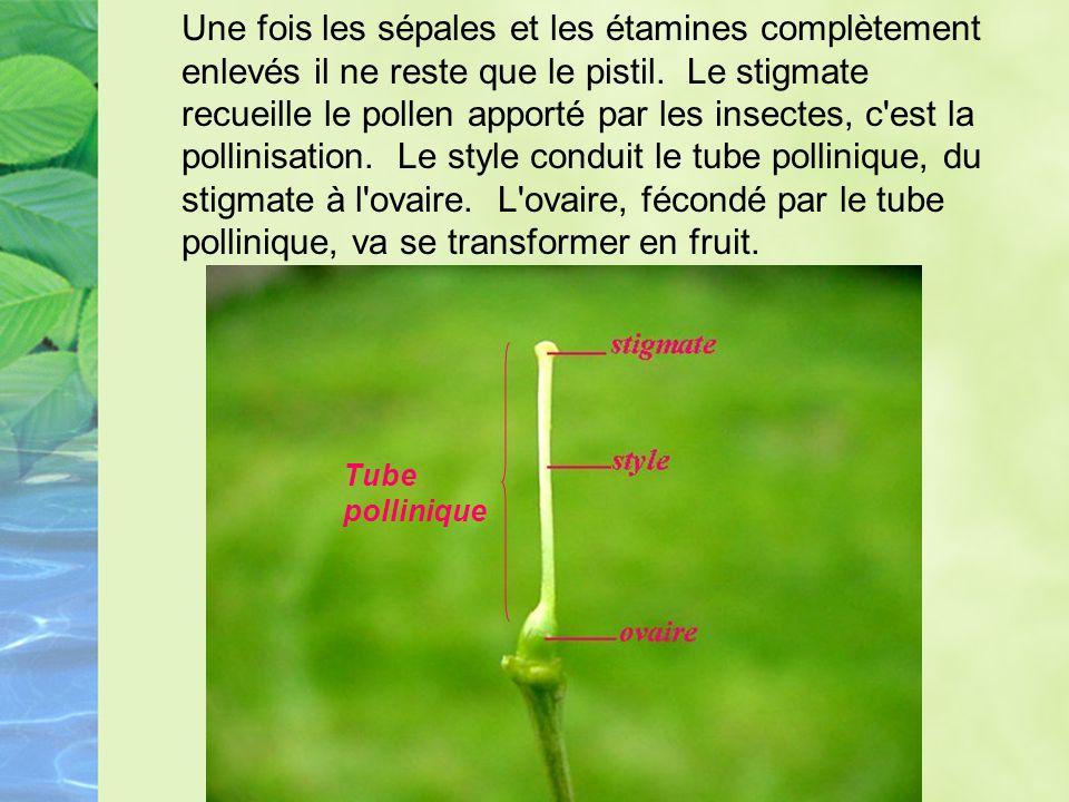 Une fois les sépales et les étamines complètement enlevés il ne reste que le pistil. Le stigmate recueille le pollen apporté par les insectes, c est la pollinisation. Le style conduit le tube pollinique, du stigmate à l ovaire. L ovaire, fécondé par le tube pollinique, va se transformer en fruit.