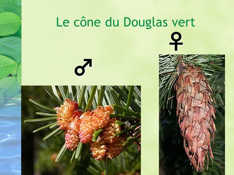 Le cône du Douglas vert ♀ ♂