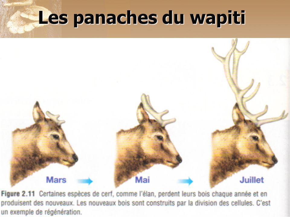 Les panaches du wapiti