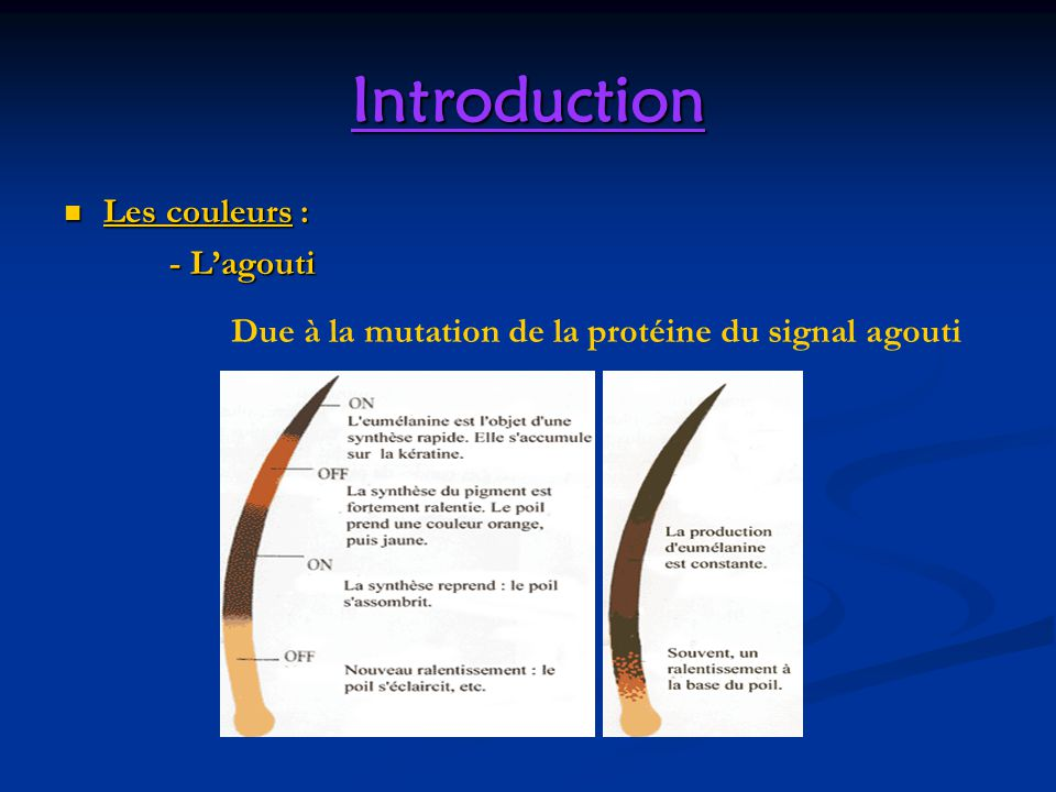 Introduction Les couleurs : - L'agouti