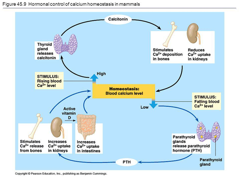 Figure 45.9 Hormonal control of calcium homeostasis in mammals