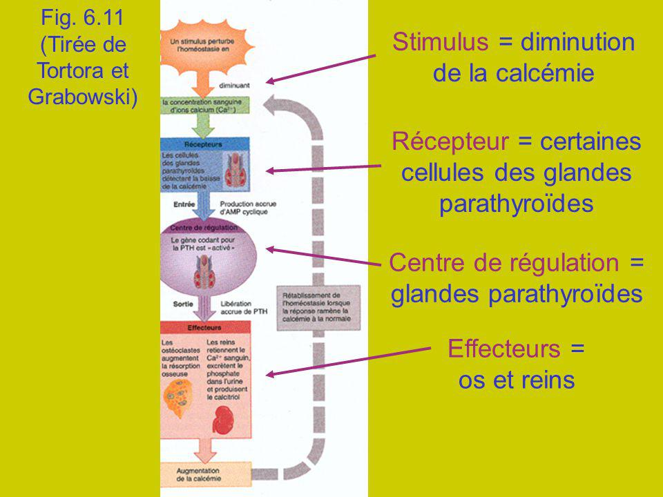Stimulus = diminution de la calcémie