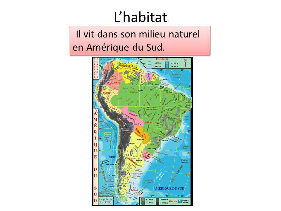 L'habitat Il vit dans son milieu naturel en Amérique du Sud.