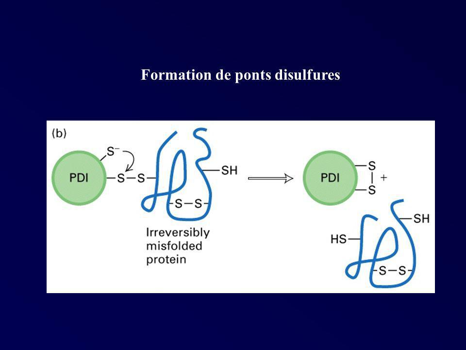 Formation de ponts disulfures