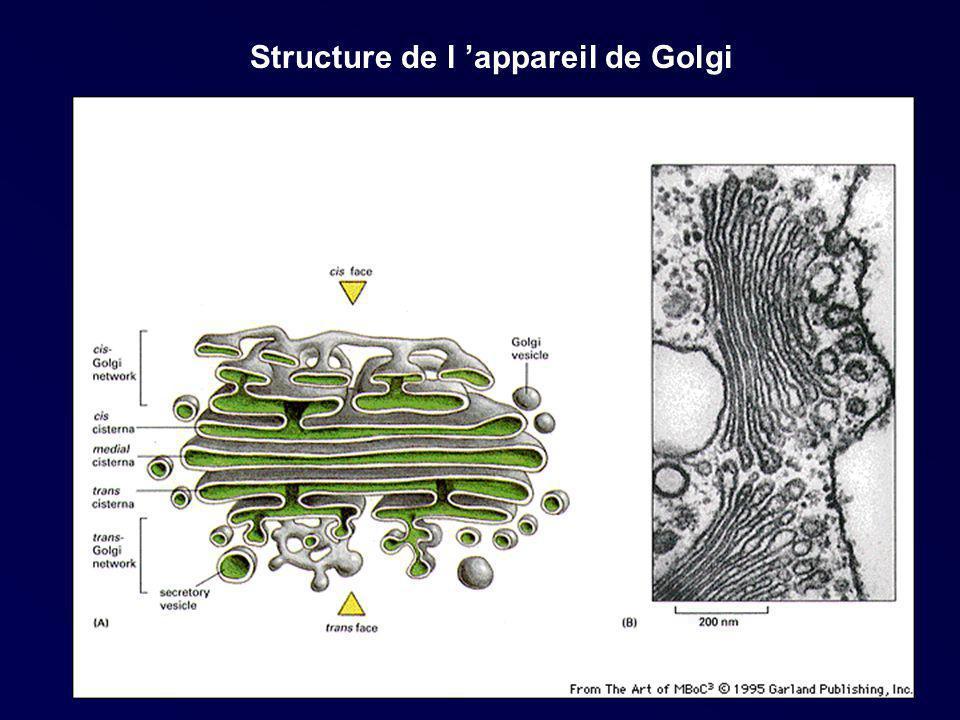 Structure de l 'appareil de Golgi