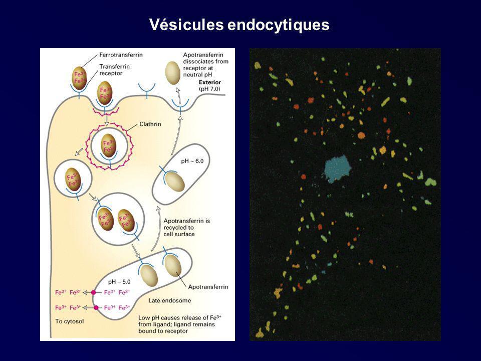 Vésicules endocytiques