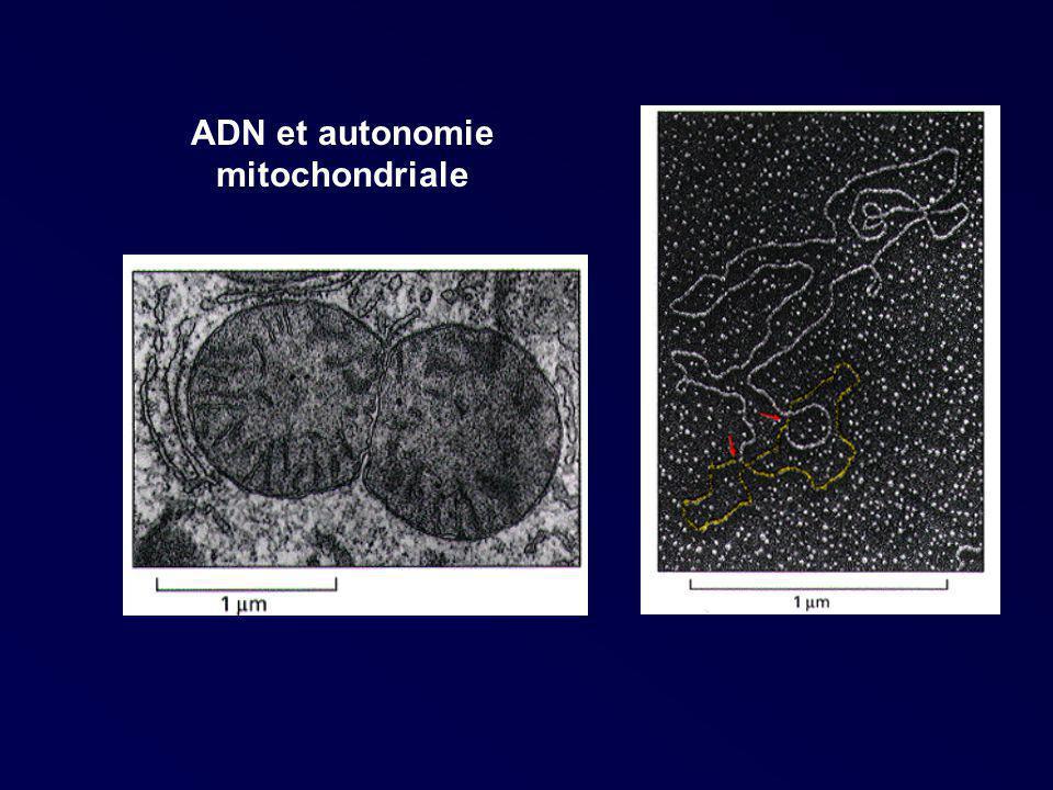 ADN et autonomie mitochondriale