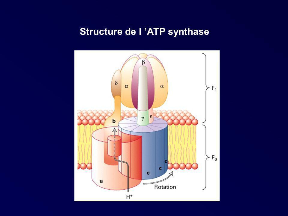 Structure de l 'ATP synthase