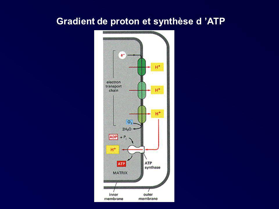 Gradient de proton et synthèse d 'ATP