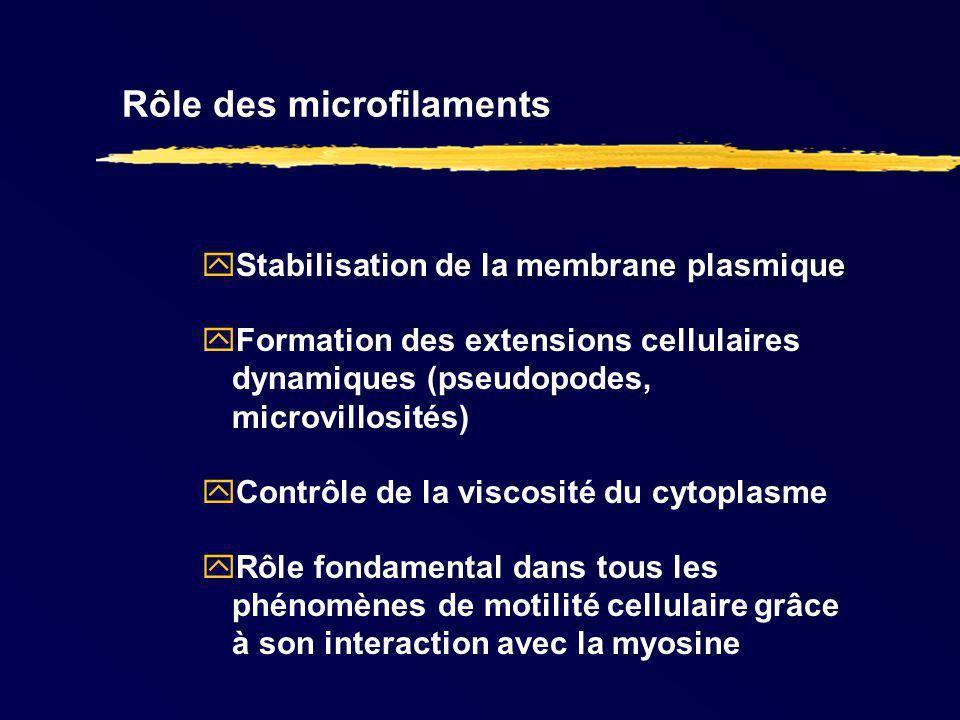 Rôle des microfilaments