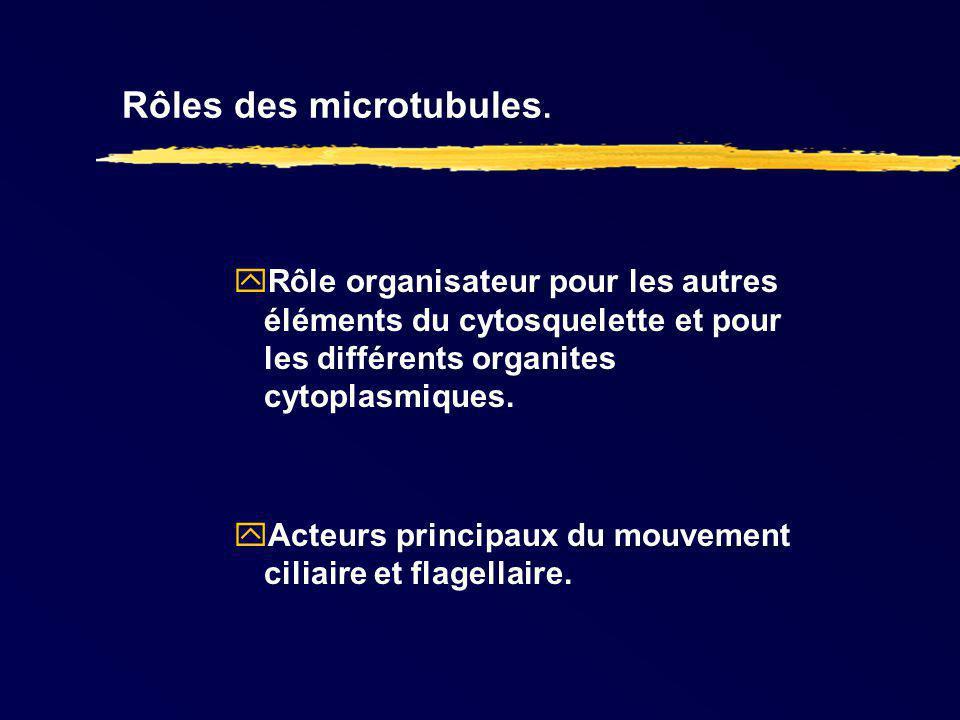 Rôles des microtubules.