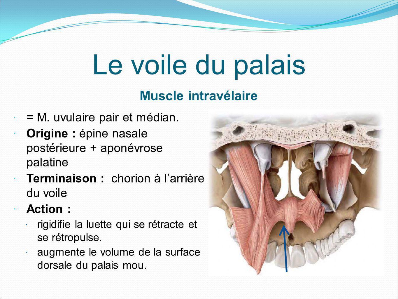 Le voile du palais Muscle intravélaire = M. uvulaire pair et médian.